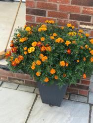 Ava's marigolds